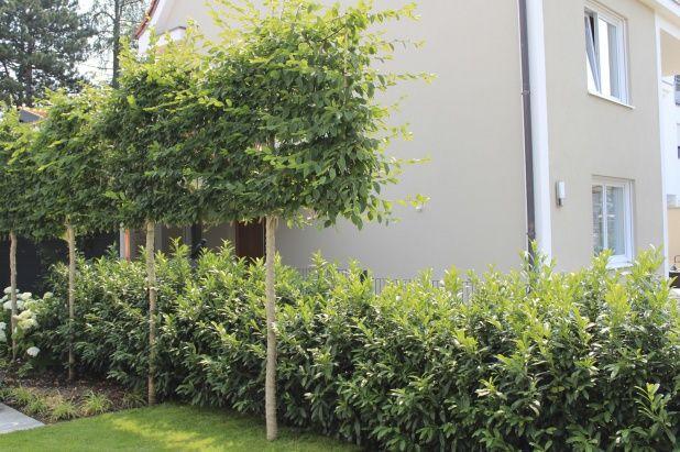 Eine Hochstammspalier-Hecke aus Hainbuche wird als Sichtschutz in einer beengten Gartensituation verwendet.