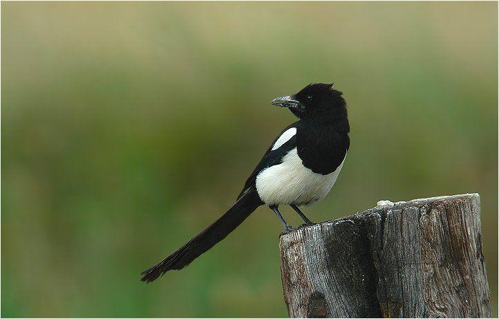 die besten 25 elster vogel ideen auf pinterest rabe. Black Bedroom Furniture Sets. Home Design Ideas
