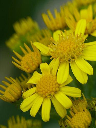 Common Ragwort (jacobaea vulgaris syn. senecio jacobaea)