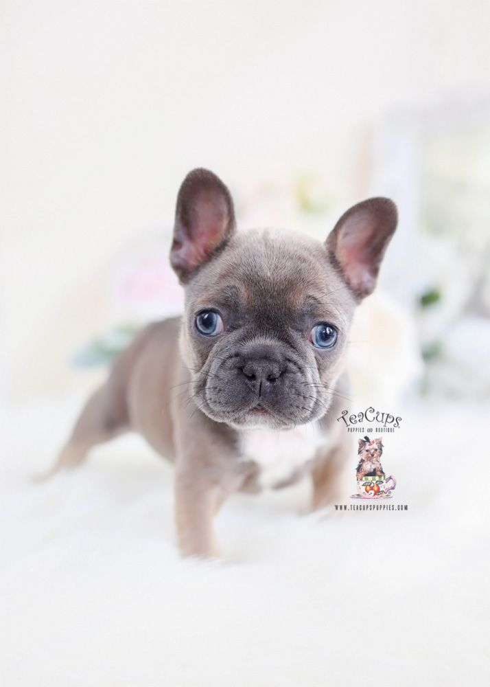 Blue Fawn French Bulldog Puppies 062 C In 2020 Fawn French