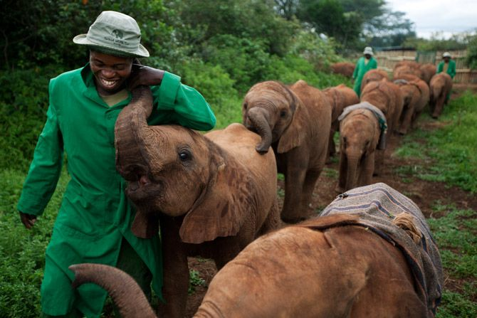 Orphan elephant babies on a walk with their keepers. The David Sheldrick elephant orphanage, Nairobi.