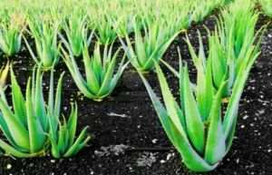 """Aloe Vera is a powerful plant, one that produces natural antiseptics. There are many benefits of using Aloe Vera. In ancient Egypt, it was known as the """"plant of immortality."""" The pulp from the leaves of the Aloe Vera plant can be used topically to treat a wide range of skin conditions and has t"""