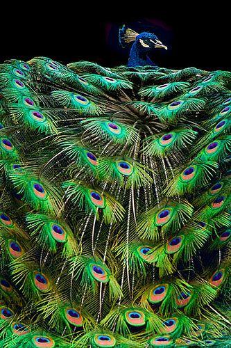 India-blue Peacock [Pavo cristatus] - Life On Planet Earth