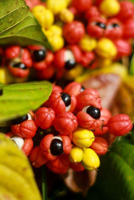 Guaraná em tempo de colheita é como um olho que se abre. Começa por volta de novembro, quando o céu descarrega as primeiras chuvas do inverno amazônico e os cachos, metidos nas florestas do Médio Amazonas, revelam a semente preta que a casca do fruto até então escondeu.