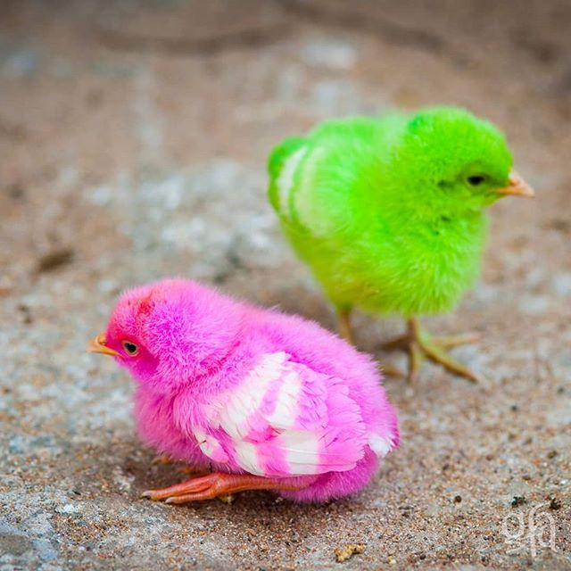 While They Are Probably Not Neon Like These Two Chickens Can Help