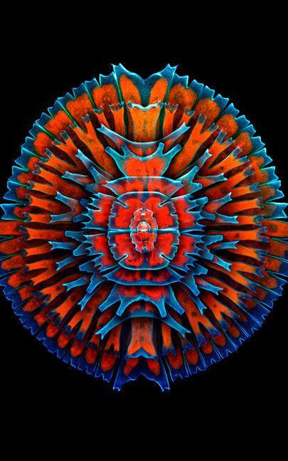 Algas de Agua dulce Unicelulares (Desmids) - Ampliado 400X