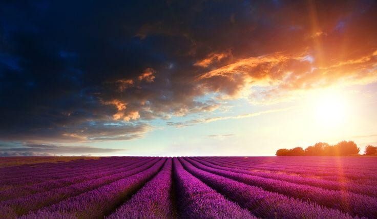 Plantation de #lavande | Provence