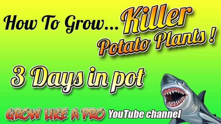 How To Grow A Potato Plant In A Pot   Update 1