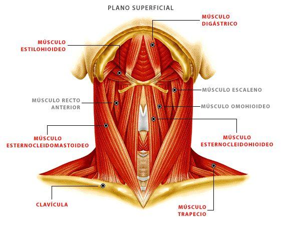Mejores 47 imágenes de anatomia en Pinterest | Cuerpo humano ...