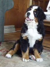 Bernese Mountain Dog - Wikipedia, the free encyclopedia