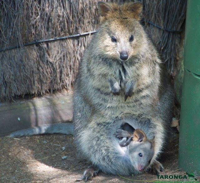 The Quokka Is A Small Australian Marsupial About The Size