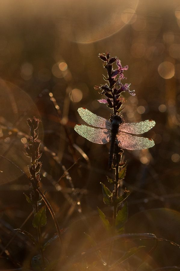 Dragonfly I by  Michał Ludwiczak on 500px.com