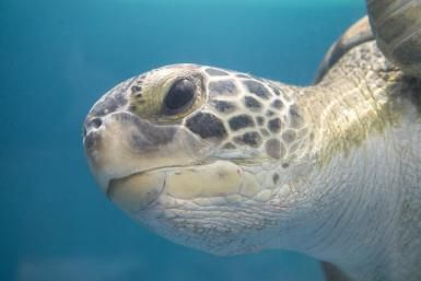Kemp's ridley sea turtle - Mark Newman/Lonely Planet Images/Getty Images