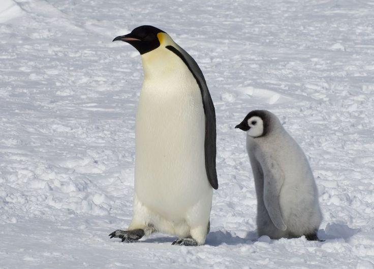 Emperor Penguins, Emperor Penguin Pictures, Emperor Penguin Facts ...