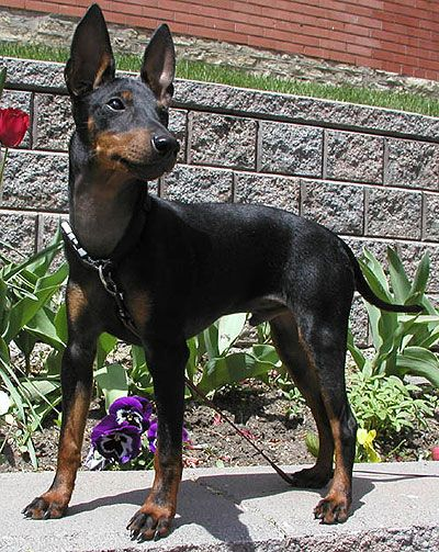 English Toy Terrier: English Toy Terrier Black Tan Photo ~ petsrank.com Dogs Inspiration