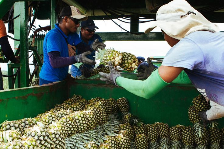 Pineapple farm workers stacking the pineapples into the back of the trailer