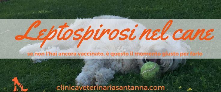 La leptospirosi nel cane è malattia che contagia il cane ma potrebbe contagiare anche l'uomo. La prevenzione in questi casi è semplice ma necessaria.Leggi