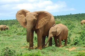 Endangered African Elephant:  African elephants are the largest land mammals and are also considered as an endangered species.     African elephants belong to the family Elephantidae, and is one of the two existing species of this family. The other member is the Asian Elephant, also known as the Indian elephant. African elephants have been classified into two subgroups - savanna elephant/bush elephant and forest elephant. African elephants are bigger than Asian elephants and savanna…