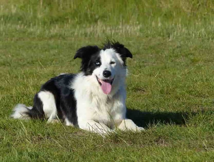 Border collie dog, Border collie Breeds, Border collie Dog Pictures, Wallpapers, Videos and Photo Gallery (2018 updated).