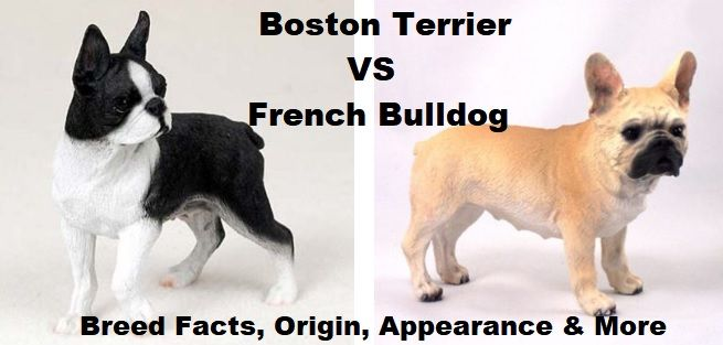 Boston Terrier Vs French Bulldog How Do They Compare French