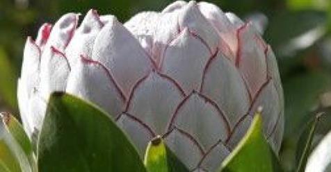 Μωσαϊκό: Πρωτέα: Το εξωτικό λουλούδι