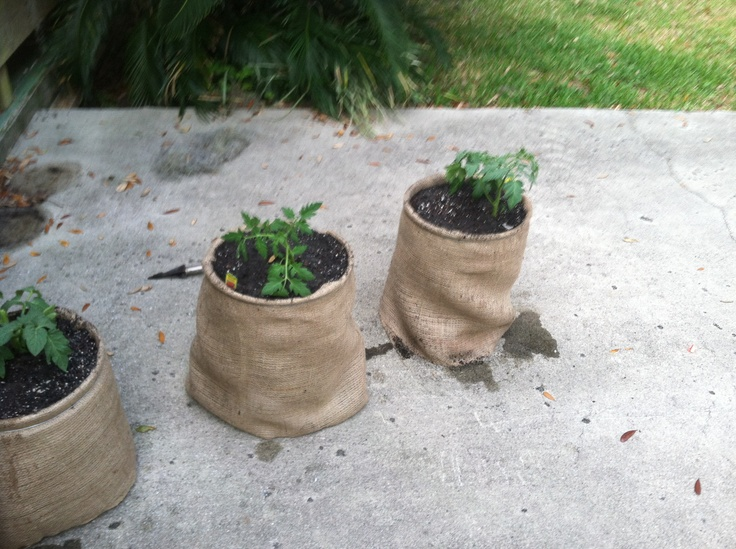 Tomatoes Planted In Five Gallon Buckets Wrapped In Burlap 400 x 300