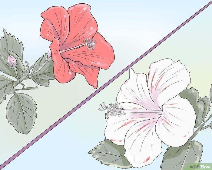Gambar Batang Bunga Kembang Sepatu Cara Menanam Kembang Sepatu Wikihow Jual Produk Kembang Sepatu Merah Murah Dan Bunga Kembang Sepatu Kembang Sepatu Bunga