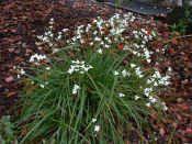 NZ iris - libertia grandiflora, prefers shade, yay