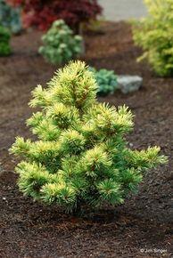Pinus parviflora 'Goldilocks' ('Tenysu-kazu')