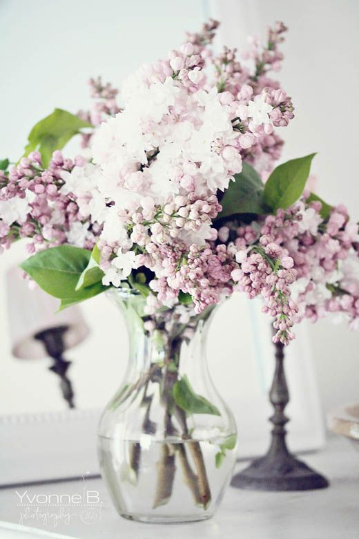 Beautiful Lilacs!  Lilacs are some of my favorite flowers and they smell amazing!