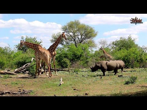 African Safaris | Rhinos watching Giraffe fight | Taga Safaris