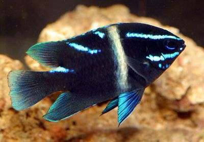 18 Best Images About Damsel Fish On Pinterest No Se