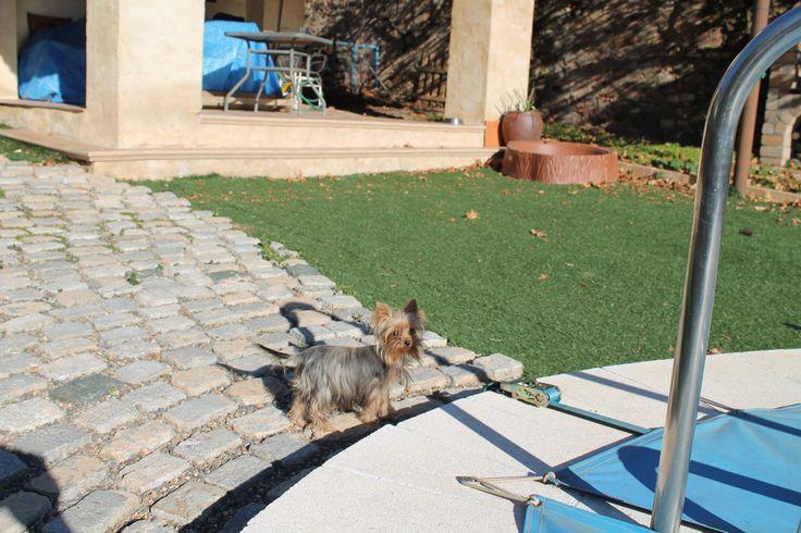 Joven cachorro macho de Yorkshire terrier del criadero Laneblina.