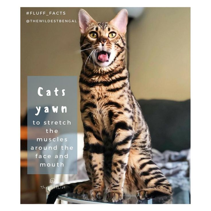 Cats yawn for the same reason as humans (uncontrollably or involuntarily as a reaction to tiredness) to increase oxygen levels in the bloodstream, but also to get a good stretch! They may be triggered to do so by flehmening