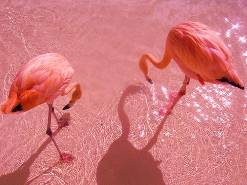 pink: Rose, Animals, Pink Flamingos, Color, Pretty, Birds