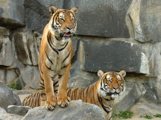 Indochinese tigers are smaller and darker than Bengal tigers, and they live in forests in mountainous or hilly regions. These Indochinese tigers are at Tierpark Berlin.