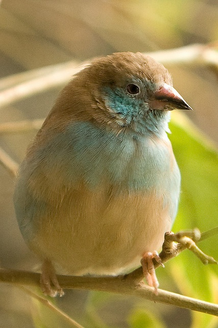 Red-cheeked Cordon-bleu (female).  This estrildid finch is a resident breeding bird in drier regions of tropical sub-Saharan Africa.