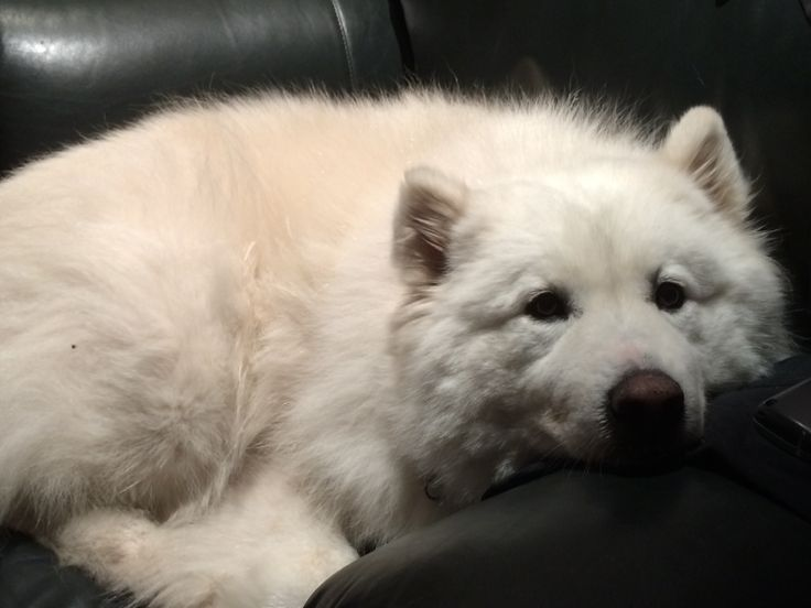 My samoyed.