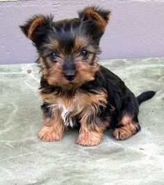 cucciolo australian silky terrier - Cerca con Google