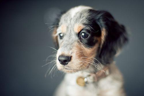 : Dogs Quotes, Sweet, Friends, Little Puppies, Pet, Wonder Places, Cutest Puppies, Australian Shepherd Puppies, Animal