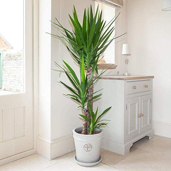 Botanicly Tall Indoor Plants Trees Dragon Tree Dracaena Marginata Height Botanicly Dracaena Wohnzimmer Pflanzen Zimmerpflanzen Coole Zimmerpflanzen
