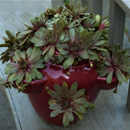 container gardening picture of strawberry planter overflowing with hens and chicks