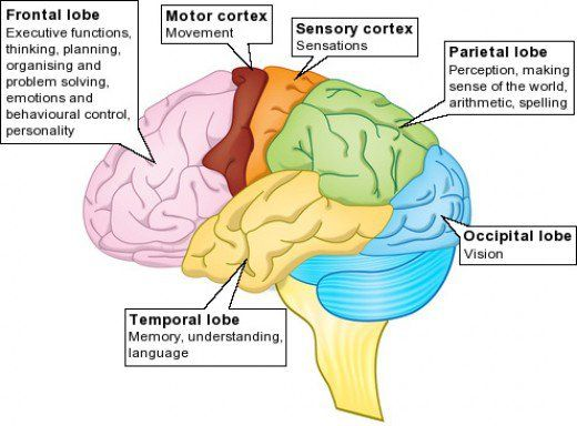 best 20+ brain lobes and functions ideas on pinterest | function, Human Body