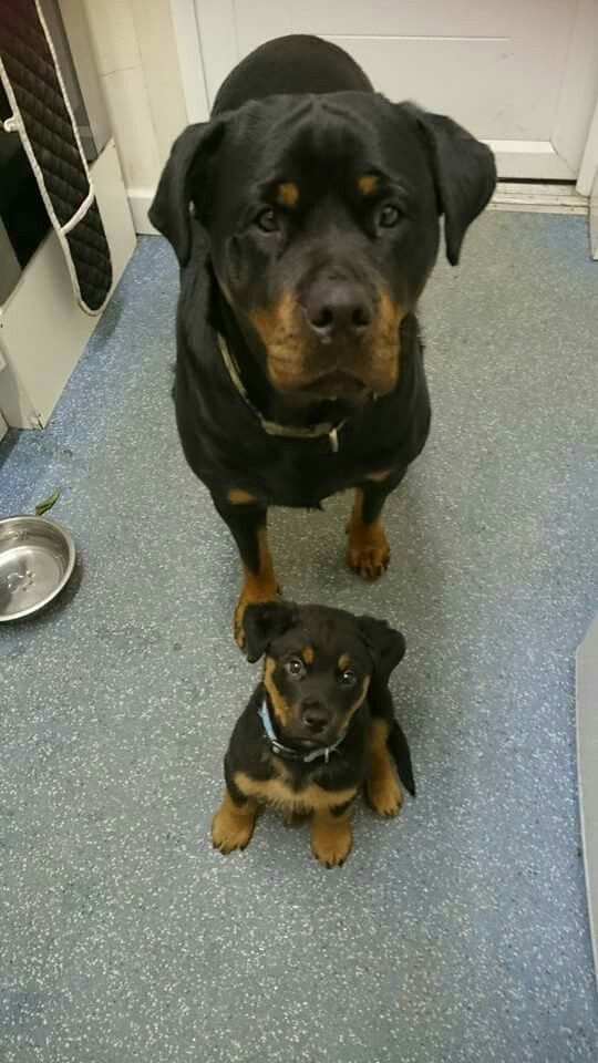 Rottweiler Dad and son