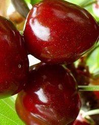 Linda cseresznyefa