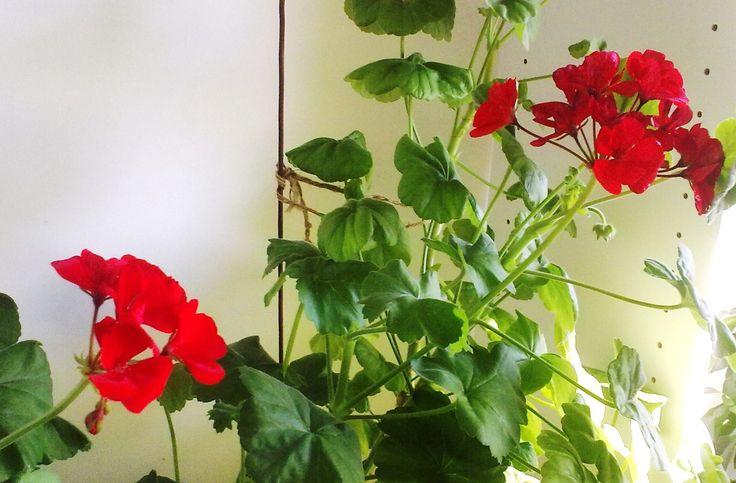 Красная  герань  расцвела.