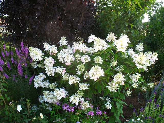 "Roses du jardin Chêneland: Hydrangea paniculata ""Unique"""