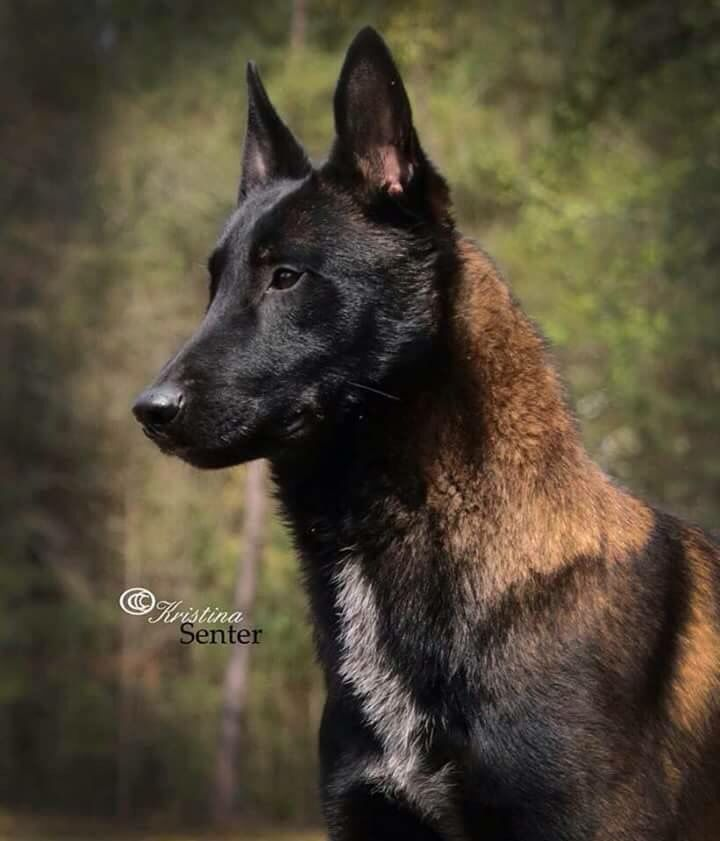 Best Police Dogs For Sale