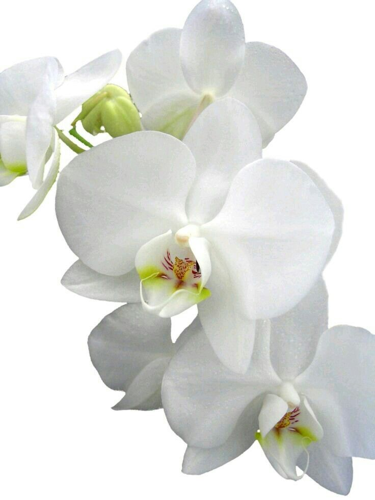 Pin By Mihaela Gheciu On Green And White Orchid Flower Strange Flowers Beautiful Orchids