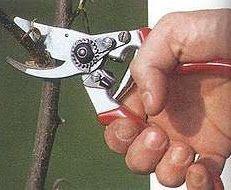 Inheems- en uitheems fruit: Perenbomen snoeien voor dummies.